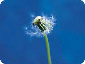 ella-doran-dandelion1