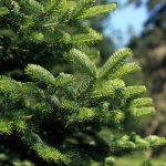 Review: Pines and Needles real Christmas tree delivery service