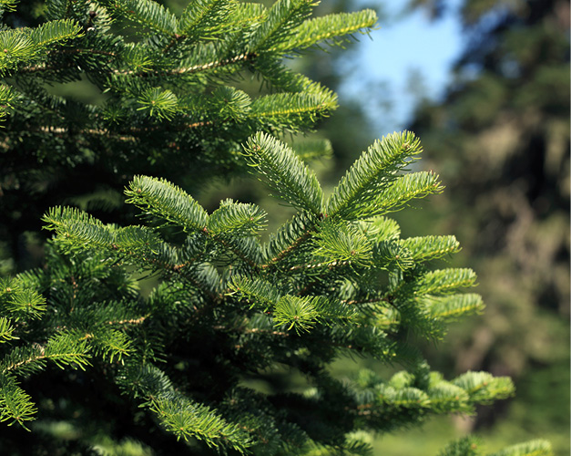 Fresh Design Blog review of Pines and Needles nordmann fir christmas tree